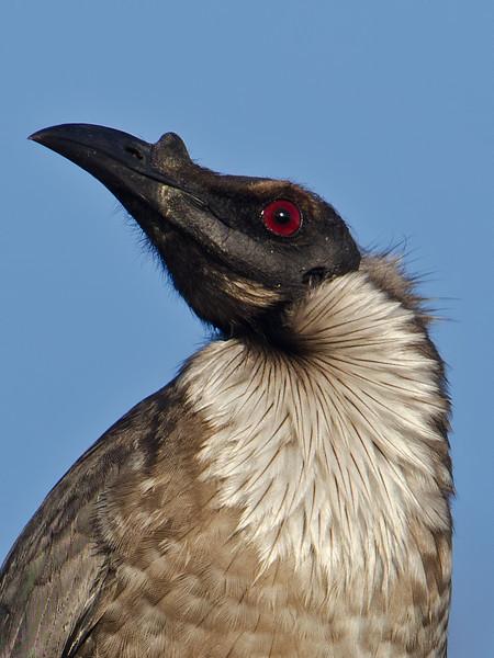 Noisy Friarbird, Spit, Gold Coast, Queensland.