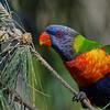 Rainbow Lorikeet, Macintosh Island Park, Gold Coast, Queensland.
