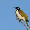 Blue-faced Honeyeater , Narrowneck, Gold Coast, Queensland.