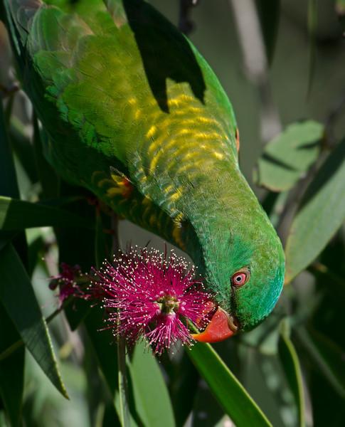 Scaly-breasted Lorikeet, Macintosh Island Park, Gold Coast, Queensland.