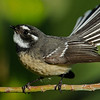 Grey Fantail, The Spit, Gold Coast, Queensland.