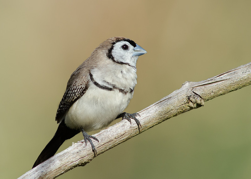 Double-barred Finch, The Spit, Queensland.