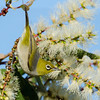 Silvereye, The Spit Nature Reserve, Gold Coast, Queensland.