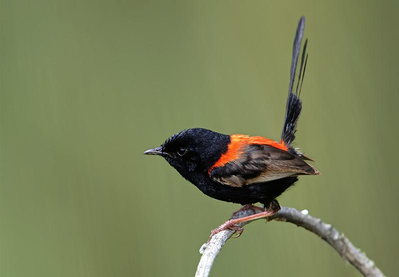 Red-backed Fairywren