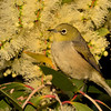 Silvereye,The Spit, Gold Coast, Queensland.