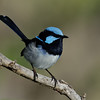 Superb Fairy-wren, Narrowneck, Gold Coast, Queensland.