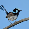 Superb Fairywren, Gold Coast, Queensland.