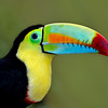 Rainbow-billed Toucan or Keel-billed Toucan, Costa Rica, South America.