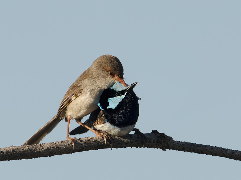 Female and Male Superb Fairy-wrens, Spit, Gold Coast, Queensland.