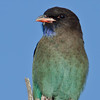 Dollarbird, Spit, Gold Coast, Queensland.