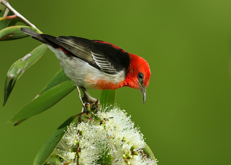 Scarlet Honeyeater, The Spit, Gold Coast, Queensland.