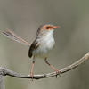 Female Superb Fairy Wren, Spit, Gold Coast, Queensland.