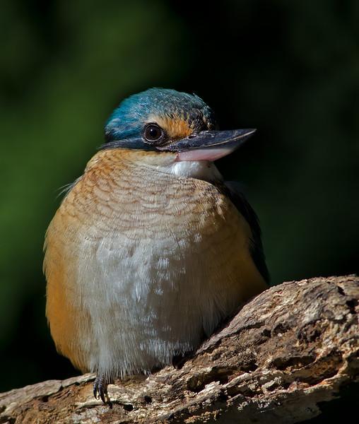 Sacred Kingfisher, Gold Coast, Queensland.