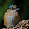 Sacred Kingfisher, Gold Coast, Queensland.