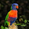 Rainbow Lorikeet, Narrowneck, Gold Coast, Queensland.