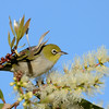 Silvereye, The Spit, Gold Coast, Queensland.
