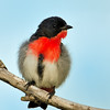 Mistletoebird, Narrowneck, Gold Coast, Queensland.