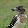 Buthcherbird, Spit, Gold Coast, Queensland.