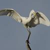 White Egret, Macintosh Island Park, Gold Coast, Queensland.