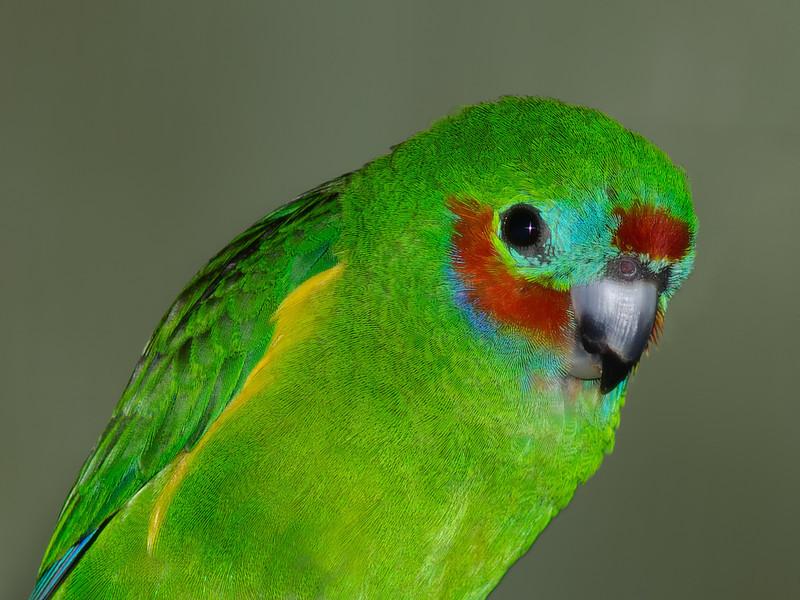 Red Browed Fig Parrot. Currumbin Wildlife Sanctuary, Gold Coast, Queensland.