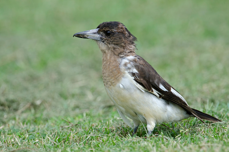 Butcherbird, Spit, Gold Coast, Queensland.