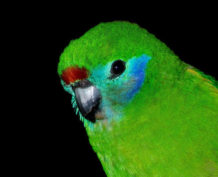Red Browed Fig Parrot, Currumbin Wildlife Sanctuary, Gold Coast, Queensland.