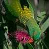 Scaly-breasted Lorikeet, Macintosh Island Park, Gold Coast, Queensland.