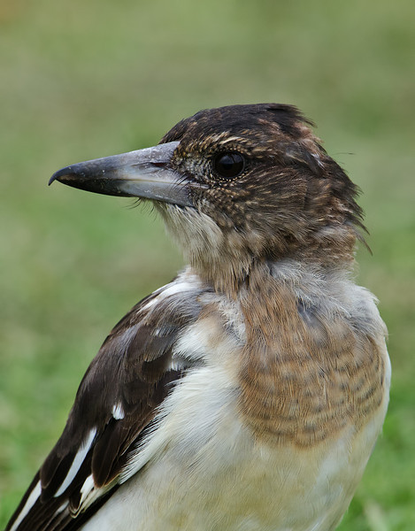 Butcherbird, Spit, Gold Coast, Queensland.