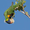 Rainbow Lorikeet, Macintosh Island Park, Gold Coast, Queensland.