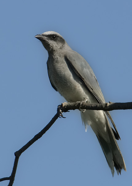 White-bellied Cuckoo-shrike, Spit, Gold Coast, Queensland.