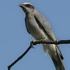 White-bellied Cuckoo-shrike, Spit, Gold Coast, Queensland.