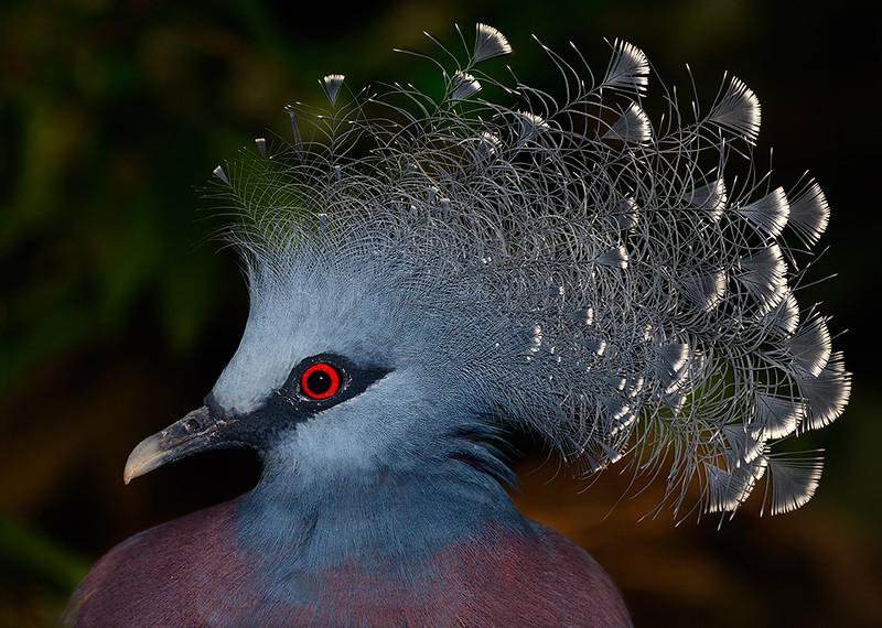 Victoria Crowned-pigeon