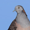 Bar-shouldered Dove, Spit, Gold Coast, Queensland.