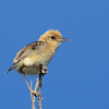 Golden-headed Cisticola, Gold Coast, Queensland.