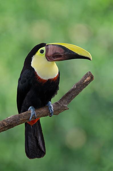 Toucan, Coata Rica, South America.