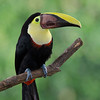 Toucan, Coata Rica, South America.