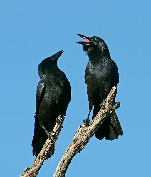 Crows, Macintosh Island Park, Gold Coast, Queensland.