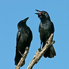 Crows, Macintosh Island Park, Gold Coast, Queensland.