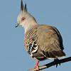 Crested Pigeon, Spit, Gold Coast, Queensland.