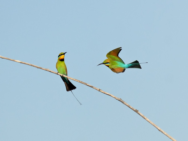 Rainbow Bee-eater, The Spit, Gold Coast, Queensland.