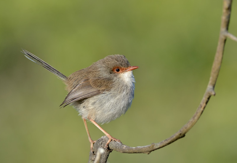 Superb Fairy-wren, Gold Coast, Queensland.