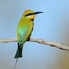 Rainbow Bee-eater, Federation Walk Nature Reserve, Gold Coast, Queensland.