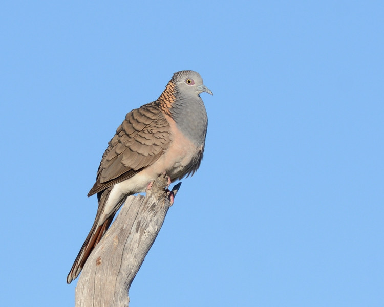 Bar-shouldered Dove, The Spit, Gold Coast, Queensland.