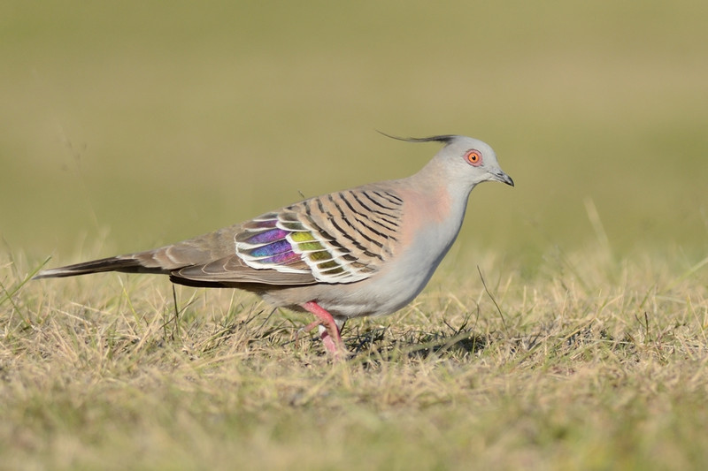 Crested Pigeon,The Spit, Gold Coast, Queensland.