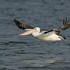 Australian Pelican, Federation Walk Coastal Reserve