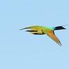 Rainbow Bee-eater, Spit, Gold Coast, Queensland.