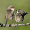 Superb Fairy-wren, Narrowneck,Gold Coast, Queensland.