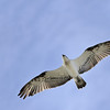 Eastern Osprey, Fish Hawk, The Spit, Gold Coast, Queensland.