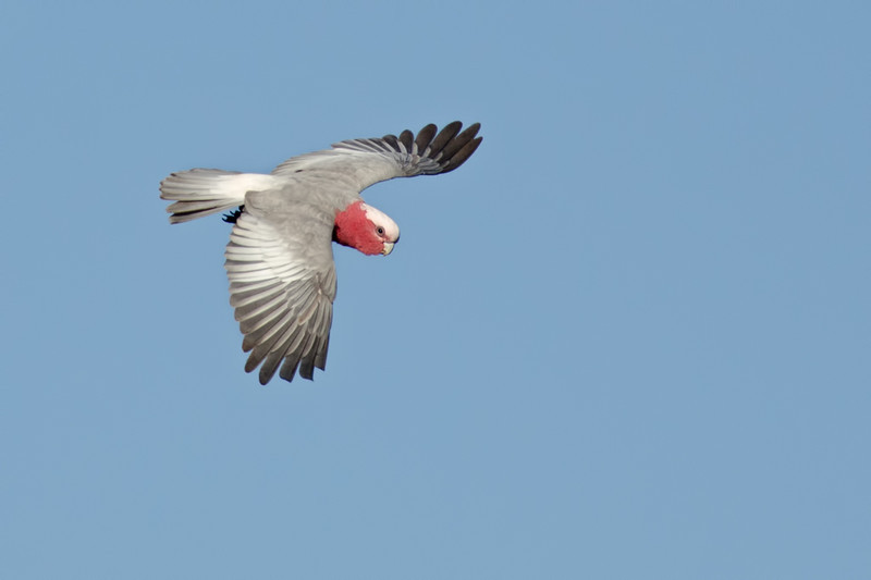 Galah, The Spit, Gold Coast, Queensland.