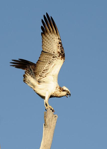 Osprey - Fish Hawk, Gold Coast, Queensland.